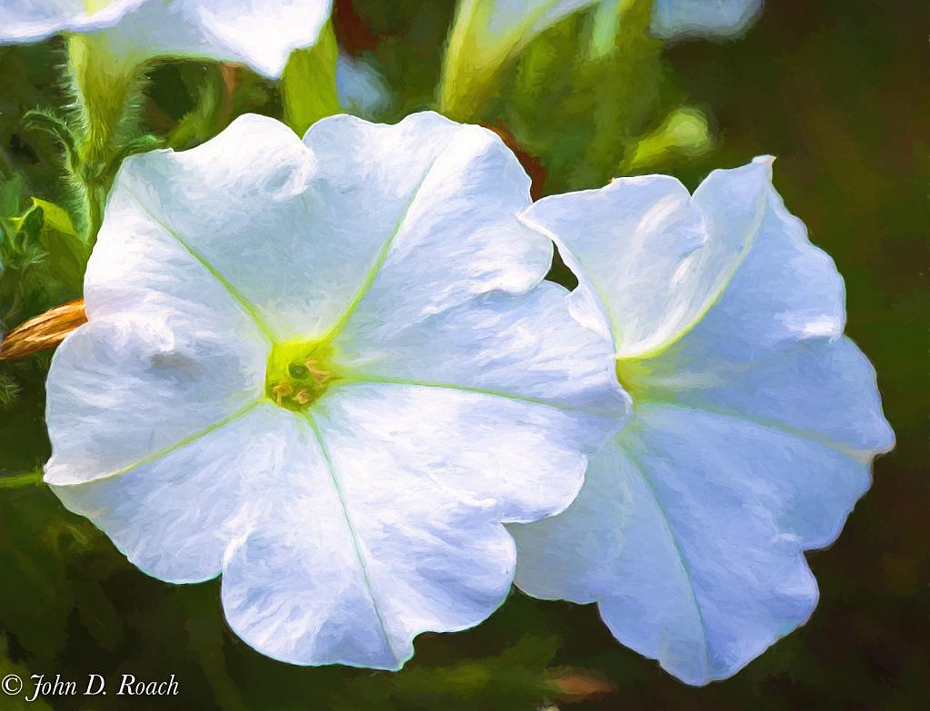 Petunias - ID: 15834704 © John D. Roach