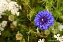 Cornflower 20