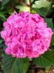 Hearty Hydrangea