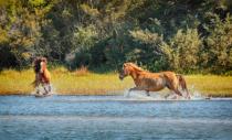 Wild Spanish Mustangs of Shackleford Banks