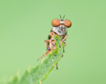 The Little Robber Fly