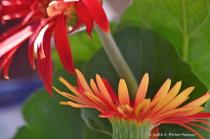 a garden of gerber daisies....