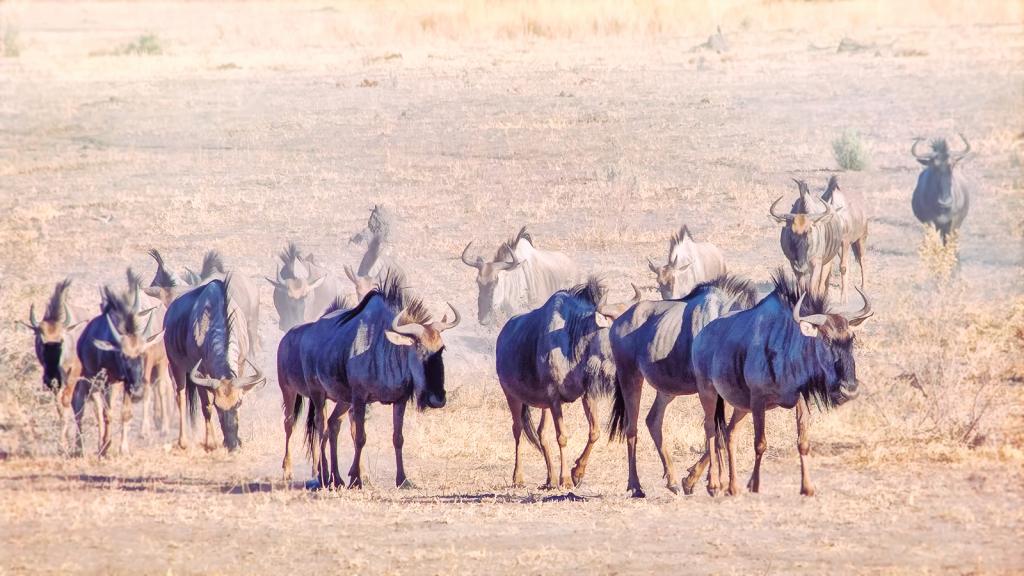 Wildebeest Parade