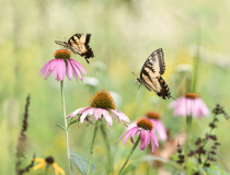 Swallowtails Playing in the Field