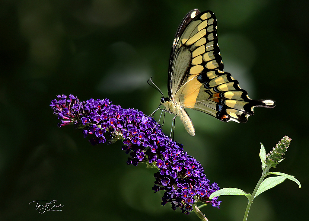 Giant Yellow Swallowtail