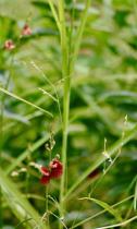 Grass Little Flowers