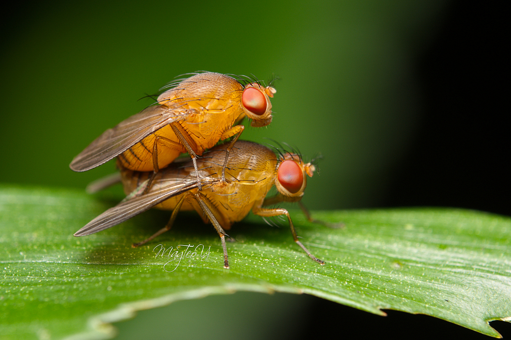 Pair of Mating Fruit Flies