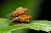 Pair of Mating Fruit Flies