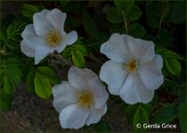 Trio of White Wild Roses!