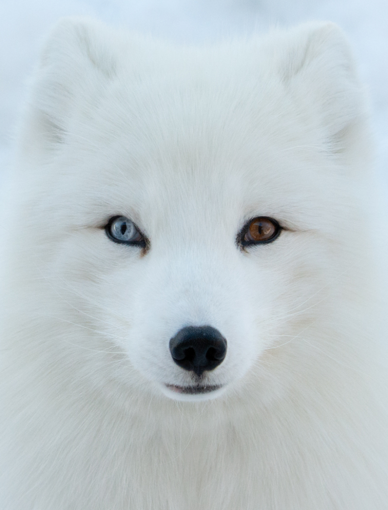 Wall Eyed Arctic Fox