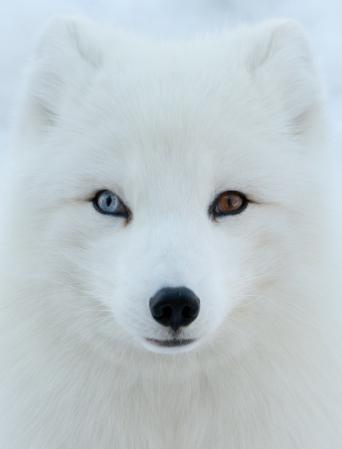 Wall Eyed Arctic Fox