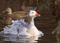 Sebastapol goose