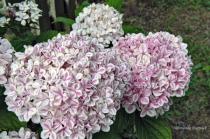 Pink Striped Hydrangea