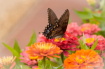 Swallowtail Summe...