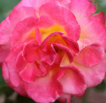 A Beautiful Rose From Our Garden