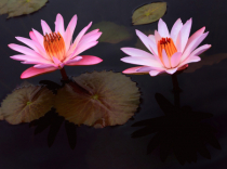 Two Pink Waterlilies and Shadows