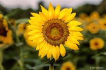 Sunflower in Field 7-20-20 135
