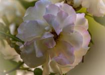 Rosy Ruffles