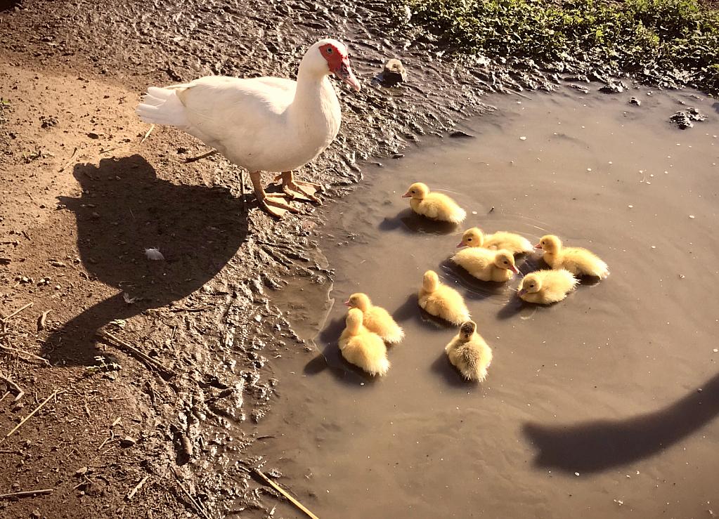 Nine Ducklings