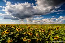 Sunflower season is here