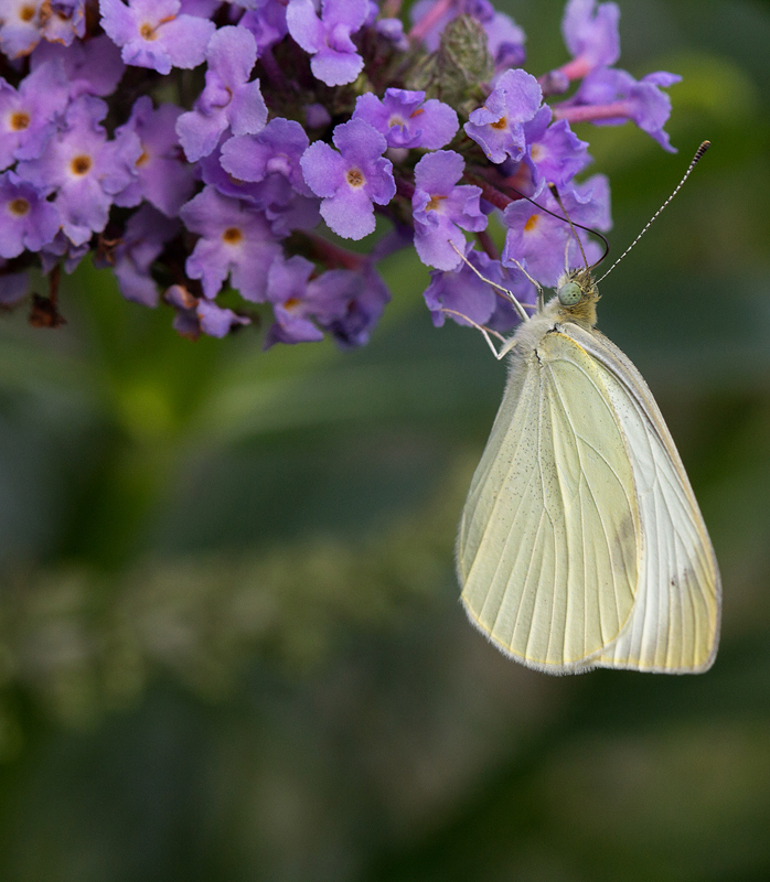 Cabbage White on Butterfly Bush