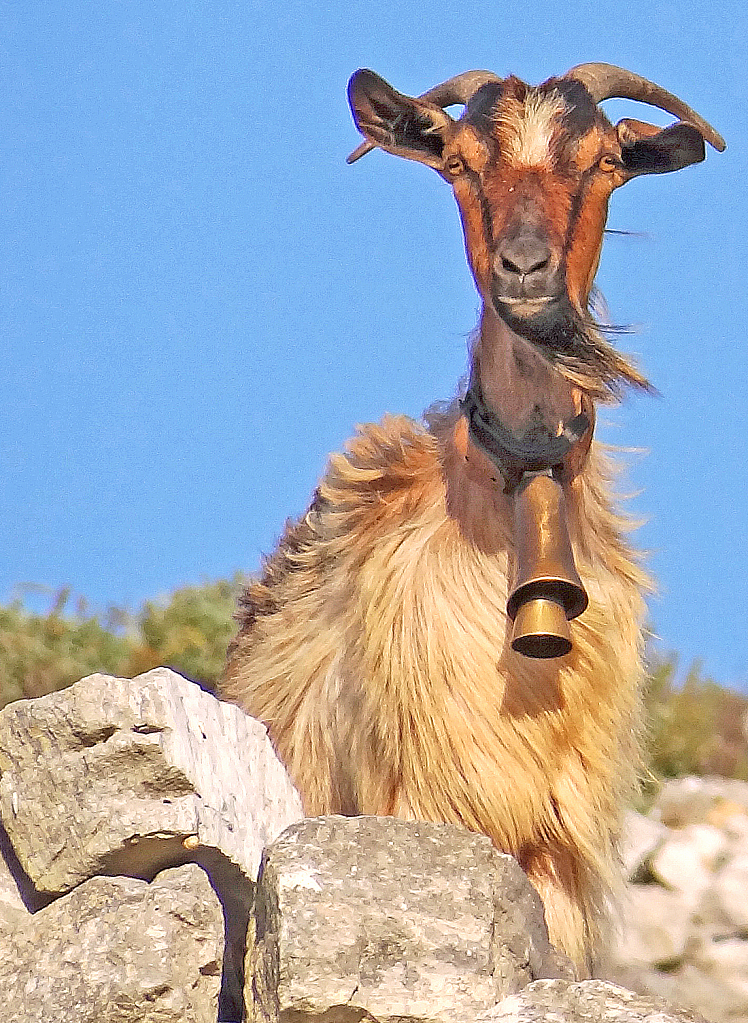 A Goat on the rocks.