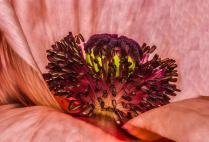 Look Inside a Poppy