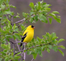 Treed Goldfinch