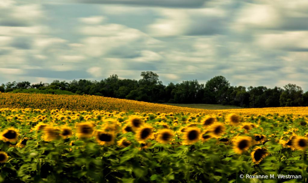 Artistic view of sunflowers on a windy day - ID: 15837496 © Roxanne M. Westman