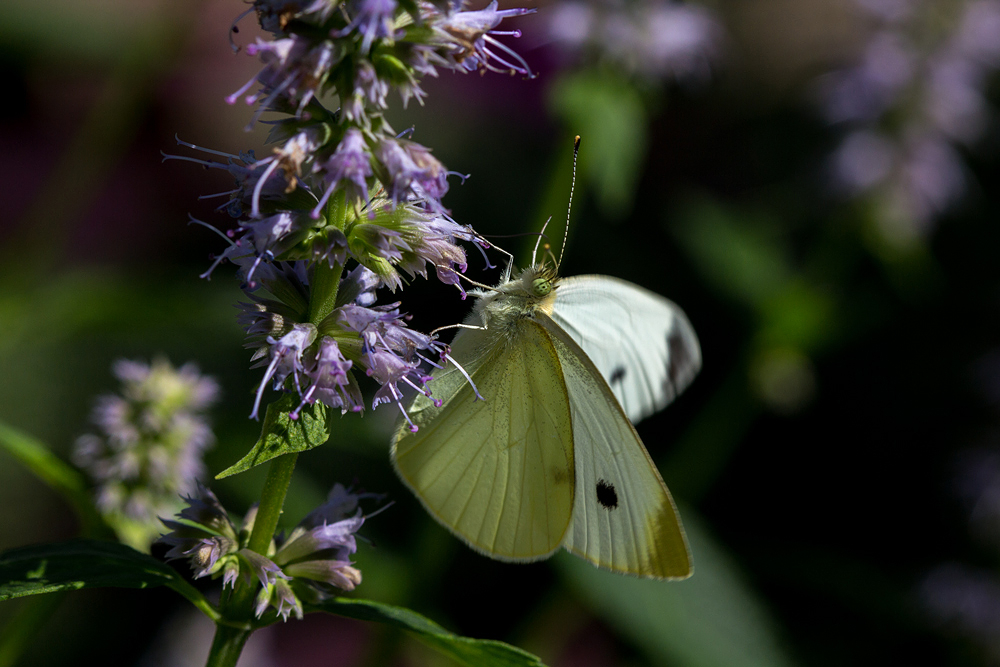 Cabbage White on Giant Hyssop