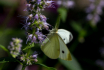 Cabbage White on ...