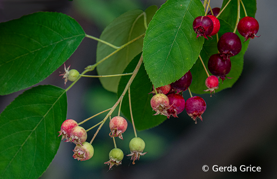 Ripe and Ripening Berries