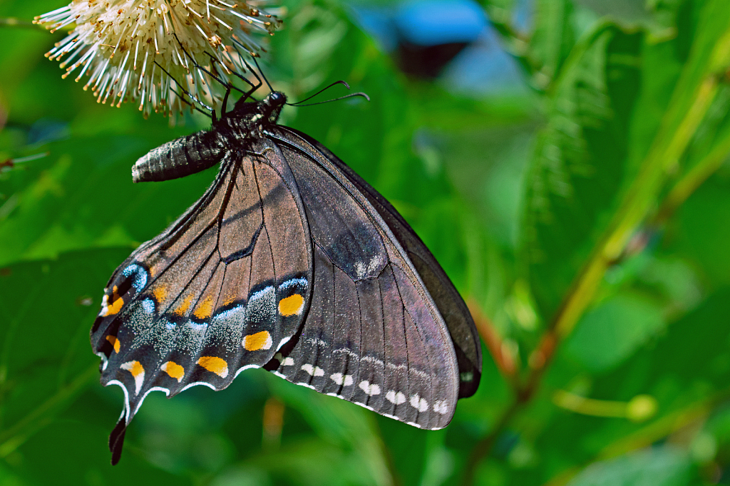 Inverted Black Swallowtail Butterfly