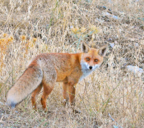 Sly Fox.