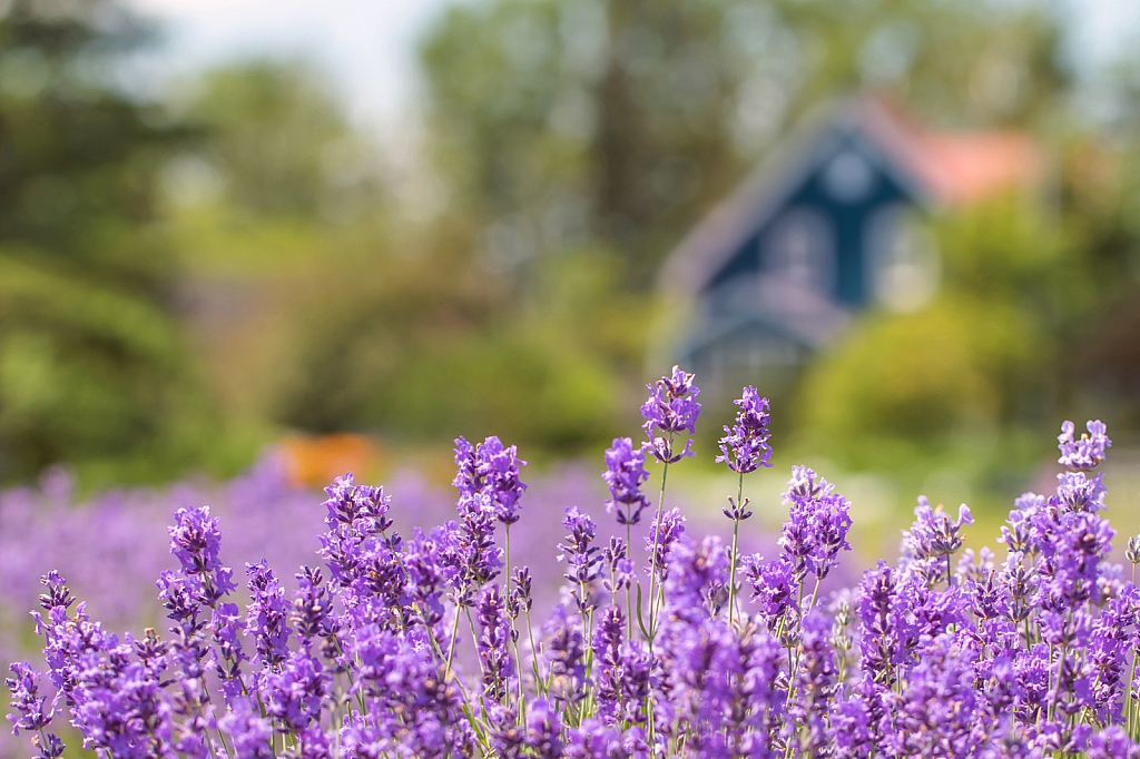 The Lavender Farm