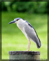A Black Crown Night Heron