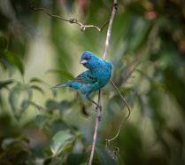 Talking to the Indigo Bunting