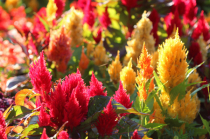 Many Colored Hot Pokers