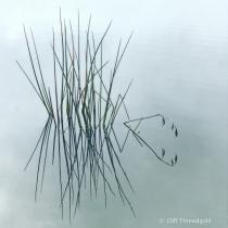 Water Reeds,Hamilton Lake