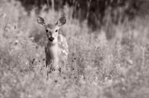 Fawn in the Weeds