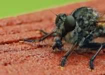 Snack for a Robber Fly