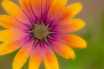 Purple Sun Mum IV
