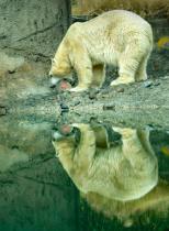 Polar Bear Treat