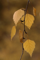 Birch leaves in late autumn