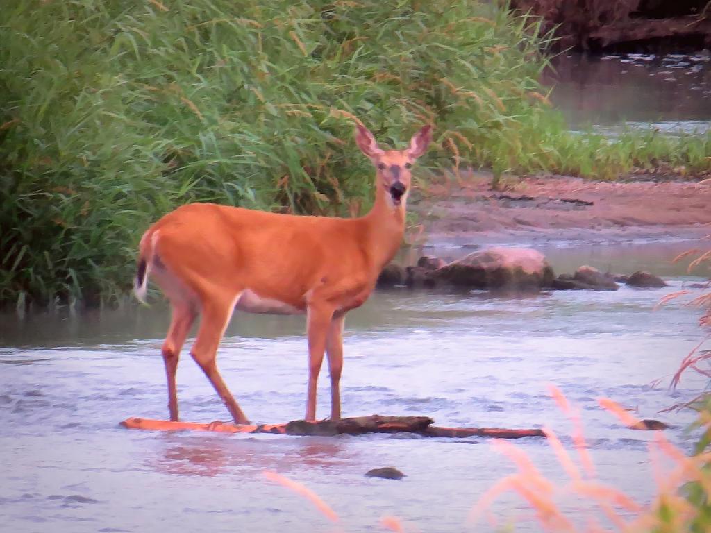 Deer In The Stream