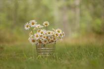 Bucket of Daisies