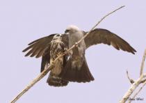 Mississippi Kite feeding juvenile