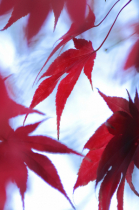 Japanese maple leaves in late autumn