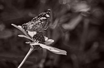 Painted Lady Butterfly in B&W