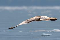 Immature Sea Gull - Taking Flight!